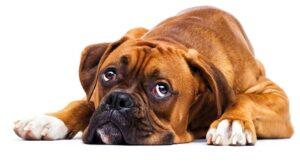 Sad looking boxer dog laying down